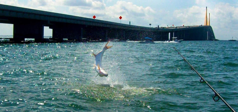 Tampa bay fishing captain ryan taylor fishing charters for Anna maria island fishing pier