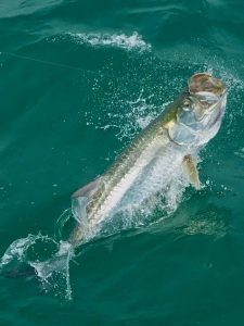 Anna-Maria-island-Tarpon-Fishing